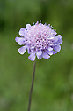 Southern scabious (Scabiosa triandra), early July. Wildflower native to southern and central Europe.