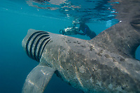 basking shark feeding in the ocean off Cornwall, United Kingdom, large, plankton-feeding shark, Cetorhinus maximus, England, Great Britain, British Isles, North Atlantic Ocean