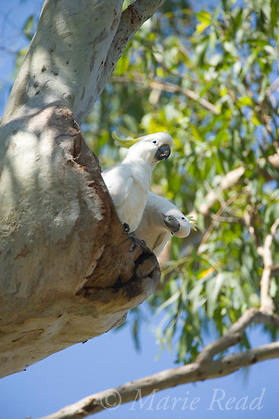 Sulphur-crested Cockatoo (Cacatua galerita), pair investigating a nest cavity in a tree, Eungella National Park, Queensland, Australia
