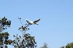 Egret soars over trees.