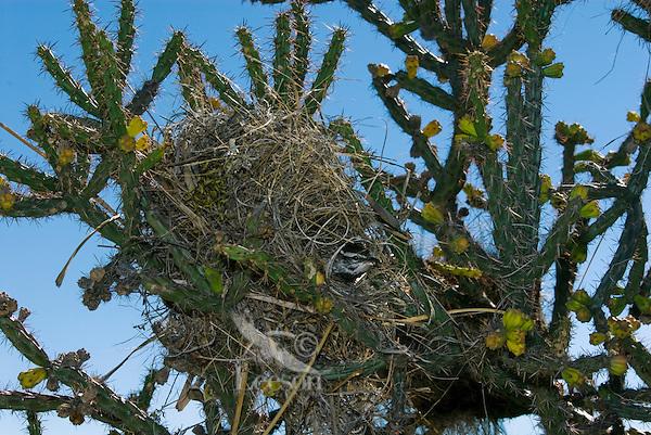 Cactus Wren (Campylorhynhus brunneicapillus) nesting in staghorn cholla.  Saguaro National Park, Arizona.