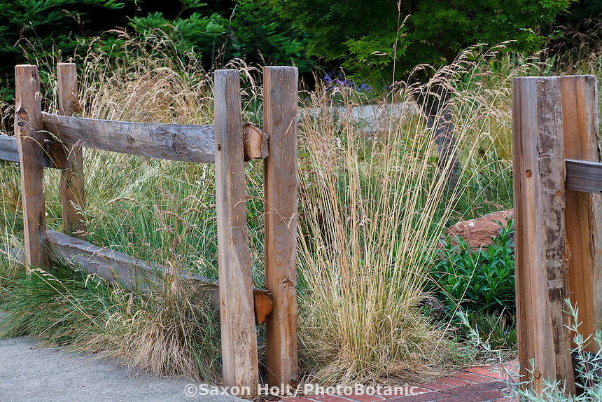 Flowering fescue bunch grass, Red Fescue (Festuca rubra 'Molate') at entry to California native plant garden with split rail fence, Schino