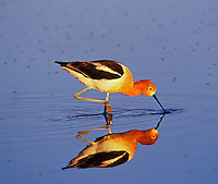 American Avocet (Recurvirostra americana) feeding in shallow pond.  Western U.S., spring.