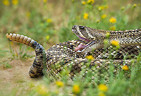 467010160 a wild western diamondback rattlesnake crotalus atrox lays coiled in a defensive threat posture in a small field of flowers on santa clara ranch starr county texas