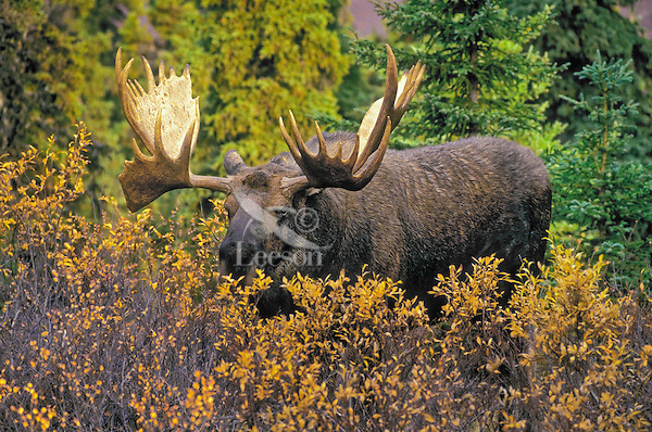 Bull Moose (Alces alces) in black spruce and willows, autumn, Denali National Park,.Alaska, U.S.A.