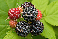 Close-up view of a cluster of wild Black Raspberry (Rubus occidentalis) fruits in various stages of ripeness, unripe (orange), ripening (red and purple), and fully ripe (purple-black). Ohio, USA