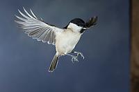 Sumpfmeise, im Flug, Flugbild, fliegend, Anflug an Nistkasten, Sumpf-Meise, Nonnenmeise, Meise, Meisen, Poecile palustris, Parus palustris, marsh tit, flight, flying, La mésange nonnette