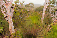Scribbly Gums & Grass Trees, Mt. Tempest Track, Moreton Island, Queensland, Australia