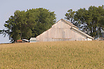 White wooden barn; farm; with corn field on a hill in rural Iowa.