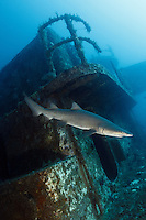 TP0517-D. Sand Tiger Shark (Carcharias taurus) swimming near the superstructure of the shipwreck of the Spar, a 180-foot long Coast Guard Cutter offshore Morehead City, North Carolina. Over 2000 ships have sunk off the North Carolina coast, an area often referred to as the Graveyard of the Atlantic. Storms and fog, pirates, and war have all taken their toll on passing ships. And a few, like the Spar, were sunk on purpose to create an artificial reef for scuba divers. North Carolina, USA, Atlantic Ocean.<br /> Photo Copyright &copy; Brandon Cole. All rights reserved worldwide.  www.brandoncole.com