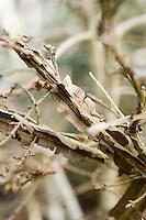 Winged Bark of Euonymus Sacrosanctus