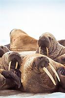 Atlantic walrus, Odobenus rosmarus rosmarus, Igloolik, Nunavut, Canada