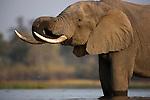 Botswana, Okavango Delta, Moremi Game Reserve,  African elephant bull  (Loxodonta africana) drinking in river