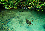 A green sea turtle floats in tropical waters off the coast, Bocas del Toro, Panama