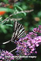 03006-001.18 Zebra Swallowtail (Eurytides marcellus) on Butterfly Bush (Buddleia davidii) Marion Co.  IL