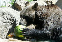 A bear refreshes with a frozen watermelon at the Bioparco of Rome, Italy, August 8, 2017. Rome temperatures exceeded 40 degrees C.<br /> UPDATE IMAGES PRESS/Riccardo De Luca