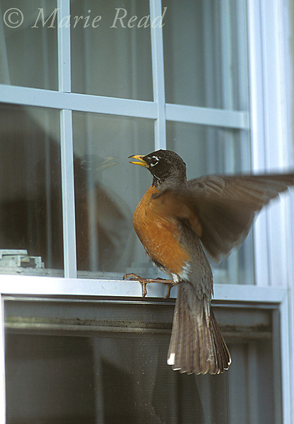American Robin (Turdus migratorius) attacking its reflection in a house window, territorial behavior in spring, New York, USA<br /> Slide # B136-1241