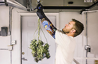 Kris Palmer (cq) trims a marijuana plant at the 3D Medical Marijuana Center grow house and store in Denver, Colorado, Tuesday, November 12, 2013. <br /> <br /> Photo by Matt Nager