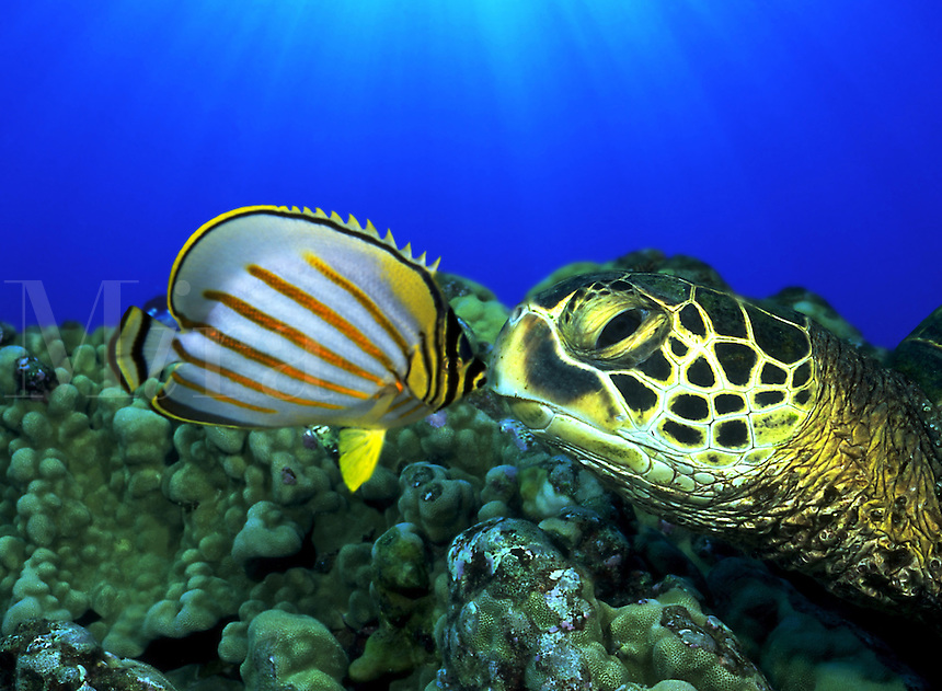 Green sea turtle, Chelonia mydas, and ornate butterflyfish, Chaetodon ornatissimus, were digitally combined in this image. Hawaii.