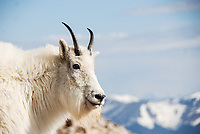 A Mountain Goat strikes a pose near the summit of 14,000 foot high Mt. Evans in Colorado.