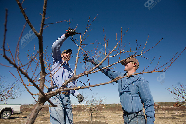 """Fundamentalist Mormon group F.L.D.S.,  orchard pruning on the """"Yearning for Zion"""" compound in Eldorado, Texas, USA, February 11, 2009"""