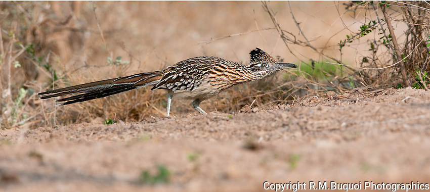 "Greater Roadrunner, doing the ""Sneak"".  Taken on private South Texas ranch."