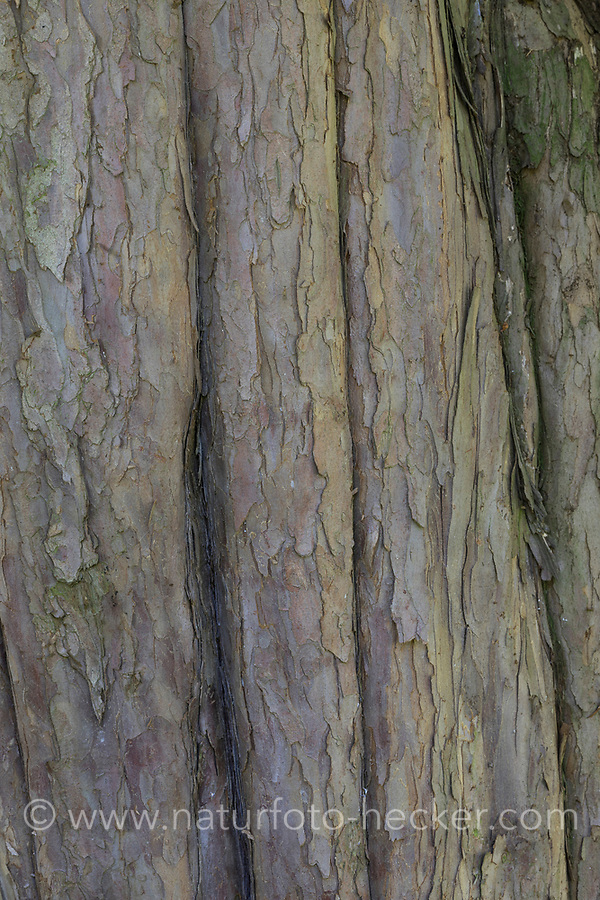 Europäische Eibe, Eibe, Eibenbaum, Rinde, Borke, Stamm, Baumstamm, Taxus baccata, European yew, Common yew, yew, bark, rind, trunk, stem, L'If commun, If