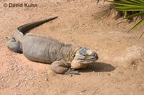 0629-1114  Exuma Island Iguana (Northern Bahamian Rock Iguana), Bahamas, Cyclura cychlura figginsi  © David Kuhn/Dwight Kuhn Photography