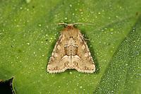Middle Barred Minor - Oligia fasciuncula