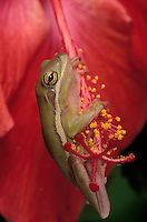 GREEN TREE FROG on Hibiscus flower in backyard garden..Found in Southeastern & Southcentral USA..(Hyla cinerea).