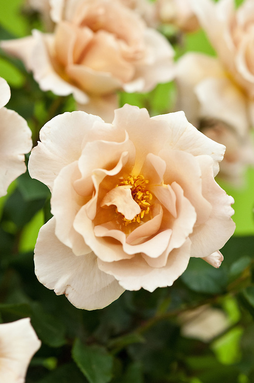 Rosa 'Julia's Rose', early July. A Hybrid Tea rose with pale, coffee-cream coloured flowers.