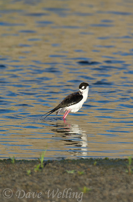 579500026 a wild black-necked stilt himantopus mexicanus along the los angeles river los angeles county california