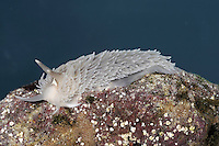 Grey Sea Slug - Aeolidia papillosa