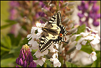 BNPs.co.uk (01202 558833)<br /> Pic: ChrisMills/NWT/BNPS<br /> <br /> Police are investigating after some exceptionally rare caterpillars that turn into Britain's largest butterfly were stolen from a nature reserve. <br /> <br /> Around 20 swallowtail butterfly caterpillars that were feeding on the scarce milk parsley plant were swiped from Hickling Broad in Norfolk.<br /> <br /> Brazen thieves uprooted five of the internationally protected plants in order to acquire the caterpillars and subsequent Swallowtail butterflies, which are prized by collectors. <br /> <br /> Killed and mounted examples of the beautiful creature can be worth &pound;100 while some unlawful hobbyists seek them for breeding because of their rarity.