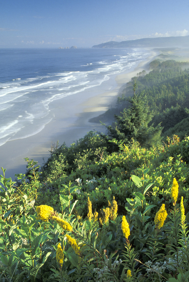 View of Oregon Coast and meadow goldenrod, Cape Lookout State Park, Oregon