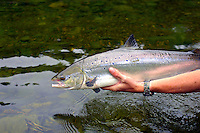 Atlantic Salmon Catch and Release Fly Fishing in Quebec Canada. 14 pound female caught on Haugur Micro hitch in The President Pool, York river.