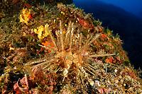 Stylocidaris affinis, Kleiner Lanzenseeigel oder Griffelseeigel, Red lance sea urchin, Adria, Adriatisches Meer, Mittelmeer, Sestrice, Dalmatien, Kroatien, Adriatic Sea, Mediterranean Sea, Sestrice, Dalmatia, Croatia