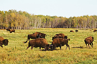 Wood bison bulls sparring, dominance behavior, Elk Island N.P., Canada