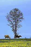 SH04-022z  Cow