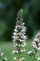 SPEAR MINT Mentha spicata (Lamiaceae) Height to 75cm<br /> Almost hairless perennial that is the most popular cultivated culinary mint. Grows in damp ground; outside the garden context, it is found in meadows and on verges. FLOWERS are 3-4mm long and pinkish lilac; borne in tall, whorled terminal spikes (Jul-Oct). FRUITS are nutlets. LEAVES are narrow-ovate, toothed and almost unstalked.
