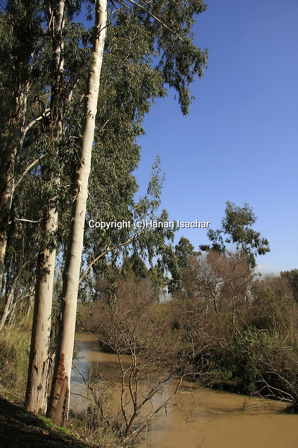 Israel, Sharon region. Eucalyptus trees by the Yarkon river at Hayarkon National Park