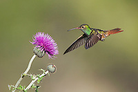 Buff-bellied Hummingbird (Amazilia yucatanenensis), male feeding on Texas thistle (Cirsium texanum), Sinton, Corpus Christi, Coastal Bend, Texas, USA