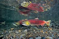Spawning Sockeye Salmon; red salmon; Oncorhynchus nerka; Juneau; southeast; Alaska