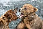 Alaska brown bears fight