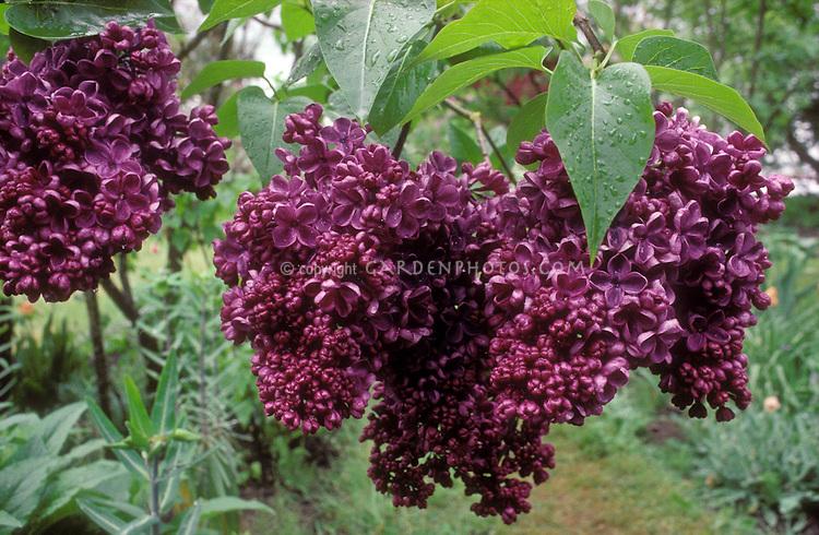Syringa 'Glory' (Lilac)