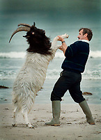 In a light hearted moment, goat catcher Frank Joy from Glenbeigh 'wrestles' with  'King Puck'  on Rossbeigh Strand, Co. Kerry before Puck Fair which begins on Friday August 10th and continues for three days. <br />