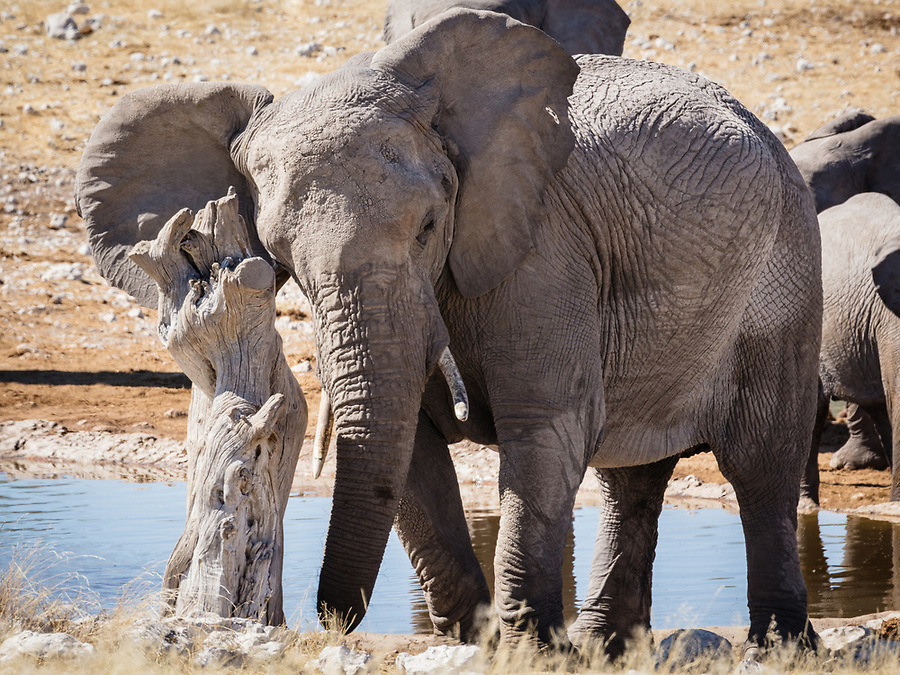 A Young Elephant Scratches Against A Tree Stump Near A Waterhole.