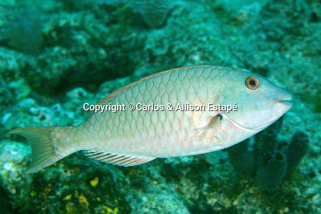 Sparisoma rubripinne, Yellowtail parrotfish, Florida Keys
