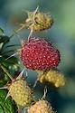 Autumn-fruiting raspberry 'Polka', late September.