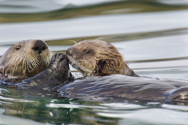 """Sea Otter (Enhydra lutris) mom feeding pup.  Pup is just starting to eat """"solid food,"""" if one calls clams and other mollosk solid food."""